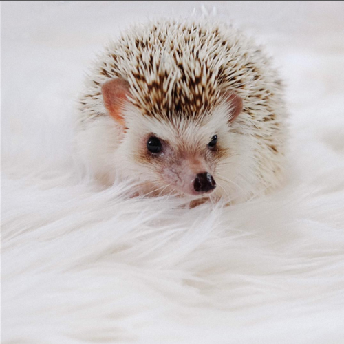 lionel-the-hedgehog